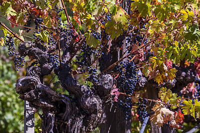 Grapes On The Vine Art Print by Garry Gay