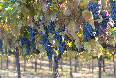 Wine Photograph - Grapes On The Vine In Autumn by Brandon Bourdages