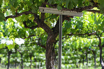 Wine Photograph - Grapes On The Vine In Spring by Brandon Bourdages