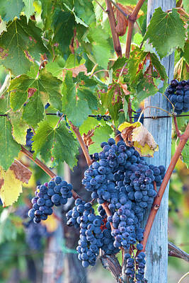 Pastoral Vineyards Photograph - Grapes Ready For Harvest On The Tuscan by Terry Eggers