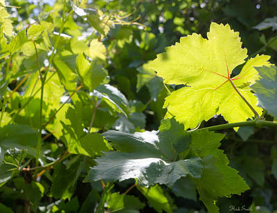 Photograph - Grapevine Spring Leaves  by Heidi Smith