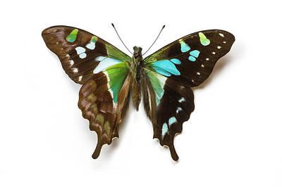 Blue Swallowtail Photograph - Graphium Stresemanni Swallowtail by Darrell Gulin