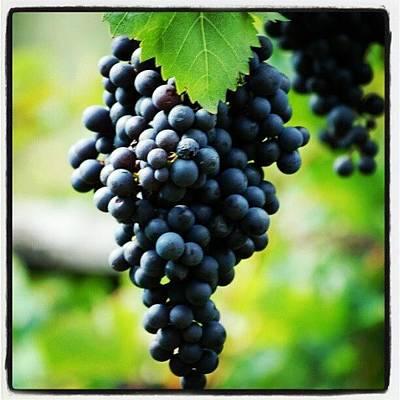Grapes Photograph - Grappolo Uva Nera by Alessandro Termignone