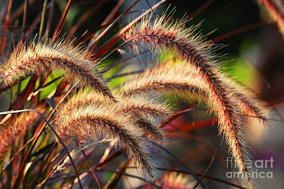 Field Wall Art - Photograph - Grass Ears by Elena Elisseeva