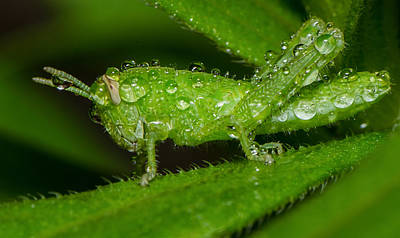 Photograph - Grass Hopper In The Rain by Tin Lung Chao