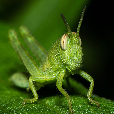 Photograph - Grass Hopper by Tin Lung Chao