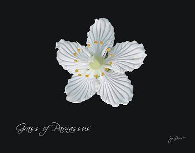 Photograph - Grass Of Parnassus by Joe Duket