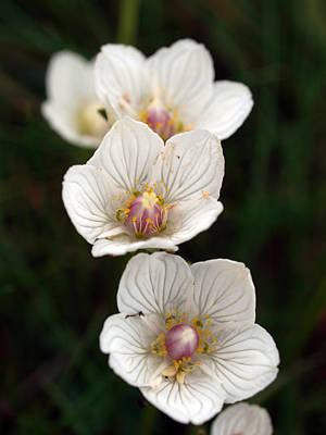 Just Desserts - Grass of Parnassus by Michaela Perryman