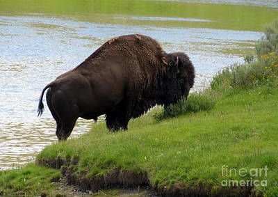 Photograph - Grass On The Other Side. Yellowstone Bison by Ausra Huntington nee Paulauskaite