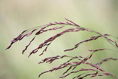 Photograph - Grass Seed by Leeon Pezok