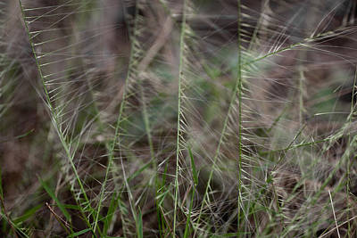 Photograph - Grass Seeds by Carole Hinding