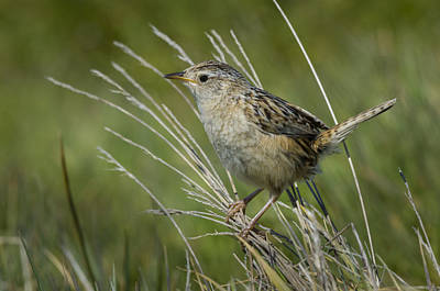 Wren Photograph - Grass Wren by John Shaw