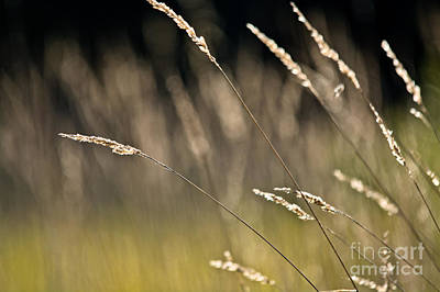 Photograph - Grasses Blowing by Cheryl Baxter