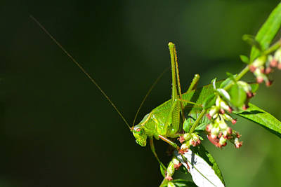 Photograph - Grasshopper #1 by Beth Sawickie