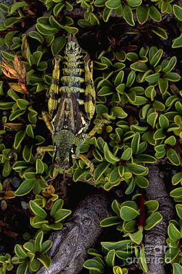 Photograph - Grasshopper by Art Wolfe