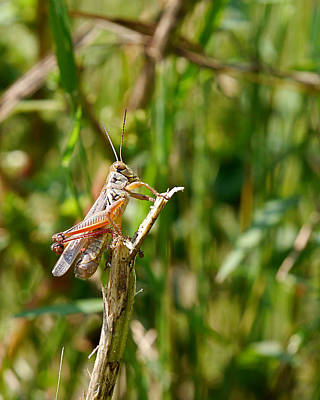 Photograph - Grasshopper - Basking In The Autumn Sun by Richard Reeve
