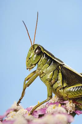 Grasshopper Close-up Art Print by Thomas Kitchin & Victoria Hurst