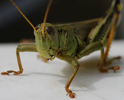 Photograph - Grasshopper by Dan Sproul