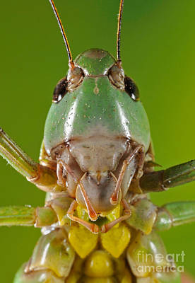 Photograph - Grasshopper by Francesco Tomasinelli
