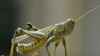Photograph - Grasshopper In Profile by David  Ortiz