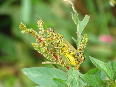 Photograph - Grasshopper In Pumpkin Patch by Teresa Cox