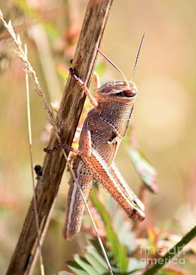Grasshopper Photograph - Grasshopper In The Marsh by Carol Groenen