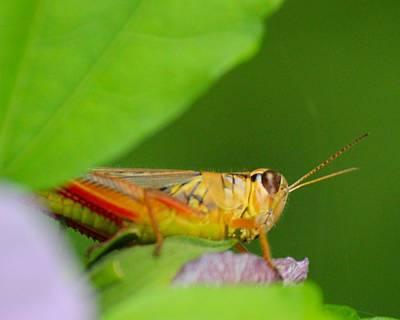 Grasshopper Original