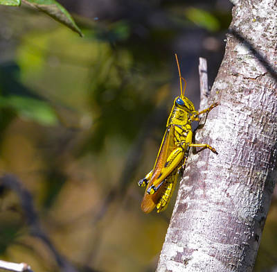 Photograph - Grasshopper by John Johnson