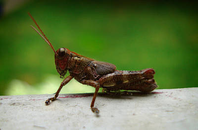 Photograph - Grasshopper by Kara  Stewart