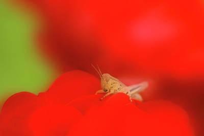 Grasshopper Wall Art - Photograph - Grasshopper by Maria Mosolova/science Photo Library