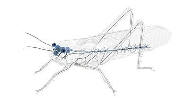 Grasshopper Wall Art - Photograph - Grasshopper Nervous System by Peter Matulavich