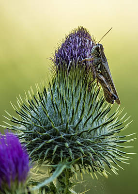 Photograph - Grasshopper On A Thistle Cropped by Belinda Greb