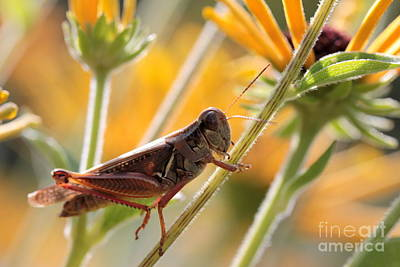 Grasshopper On Coneflower Stem Art Print by Kenny Glotfelty