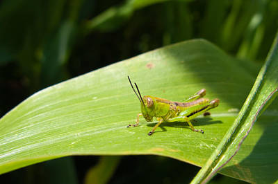 Grasshopper On Corn Leaf   Art Print
