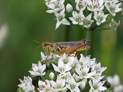 Photograph - Grasshopper On Garlic Chives by MTBobbins Photography