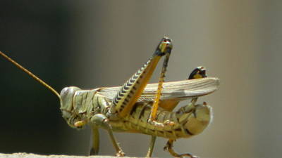Photograph - Grasshopper On His Way Out by David  Ortiz