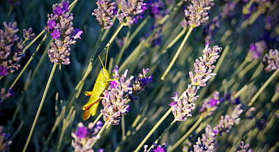 Photograph - Grasshopper On Lavender by Mary Lee Dereske