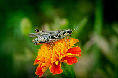 Photograph - Grasshopper On Marigold by Crystal Wightman