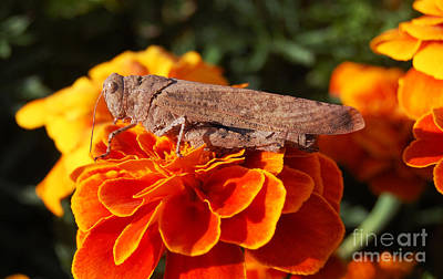 Wall Art - Photograph - Grasshopper On Orange Marigold by Susan Montgomery
