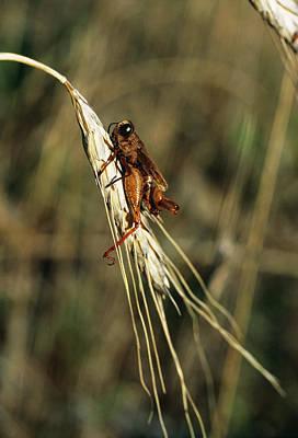 Grasshopper On Organic Crop Art Print