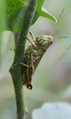 Photograph - Grasshopper On Vine 2 by Cathy Lindsey