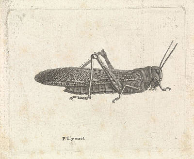 Grasshopper Drawing - Grasshopper, Pieter Lyonet by Quint Lox