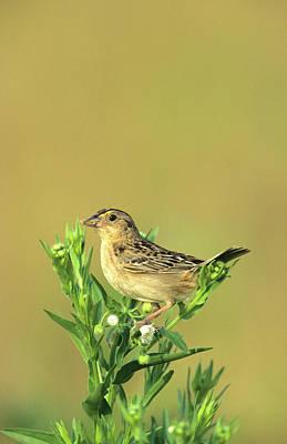 Animal Behavior Photograph - Grasshopper Sparrow (ammodramus by Richard and Susan Day