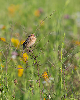 Photograph - Grasshopper Sparrow by Dale Kincaid