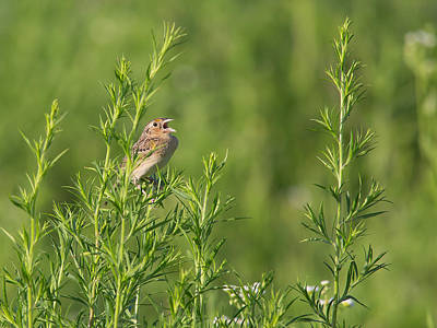 Photograph - Grasshopper Sparrow Singing by Dale Kincaid