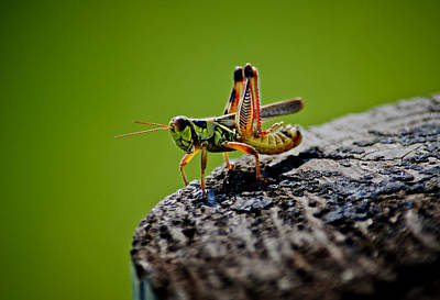Photograph - Grasshopper by Swift Family