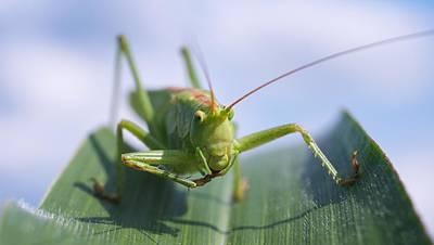 Grasshopper Art Print by Tilen Hrovatic