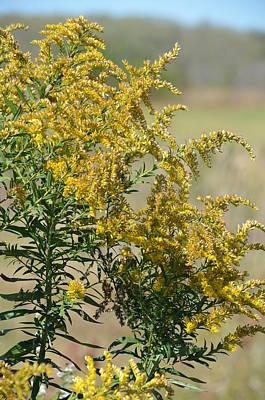 Photograph - Grassland Goldenrod by Maria Urso