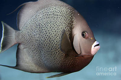Photograph - Gray Angelfish by JT Lewis