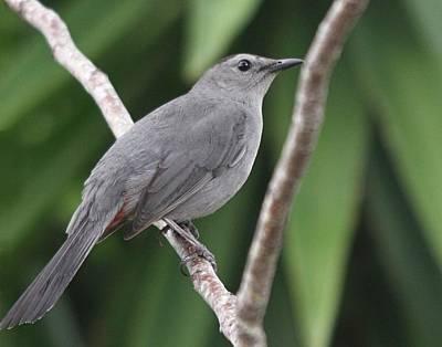 Photograph - Gray Catbird by Ira Runyan